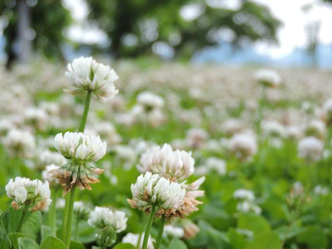 Белый Клевер для удобрения земли