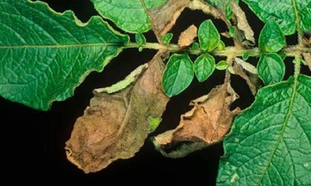 Фитофтороз на листьях картофеля