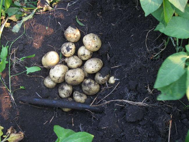 Отзывы о картошке Елизавета говорят, что это урожайный сорт