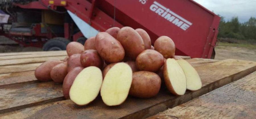 Характеристика сорта картофеля Ажур: описание, отзывы садоводов