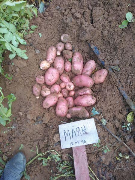 Характеристика сорта картофеля Маяк