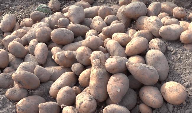Характеристика сорта картошки Каменский