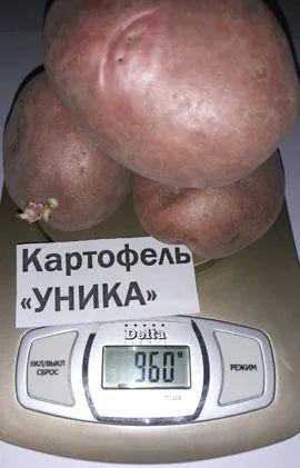 Харктеристика сорта картофеля Уника