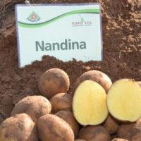 Характеристика сорта картофеля Нандина