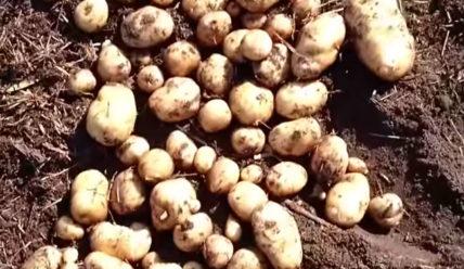 Сорт картошки Никулинская: характеристика, правила выращивания