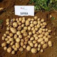 Характеристика сорта картофеля Сифра