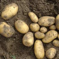 Описание картофеля Колетте, отзывы о сорте, способы размножения