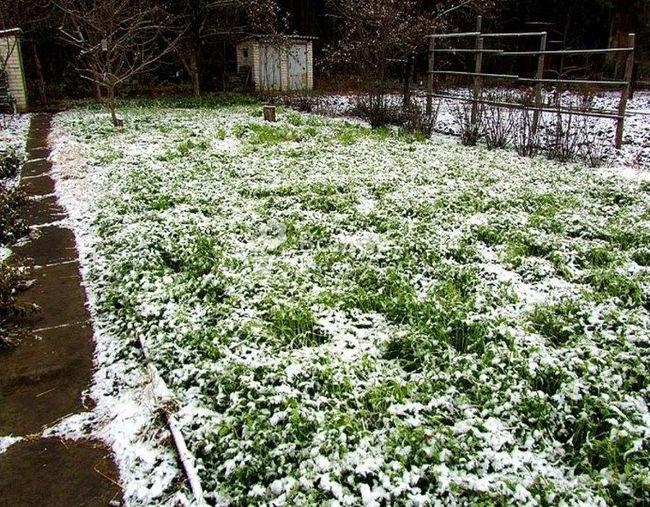 Клевер посев на зиму