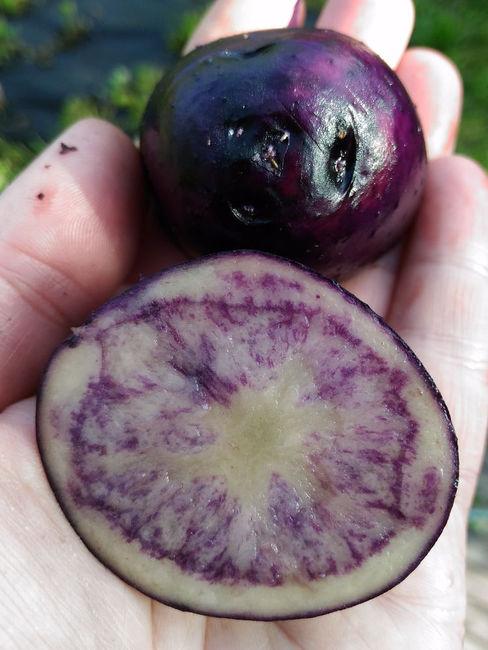 Клубень фиолетовй картошки Гурман в разрезе