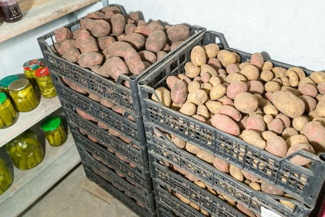 Лежкость картофеля Маяк