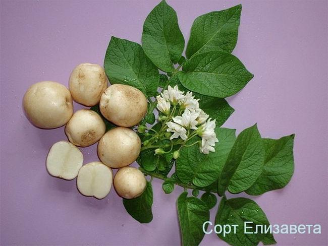 Описание сорта картофеля Елизавета