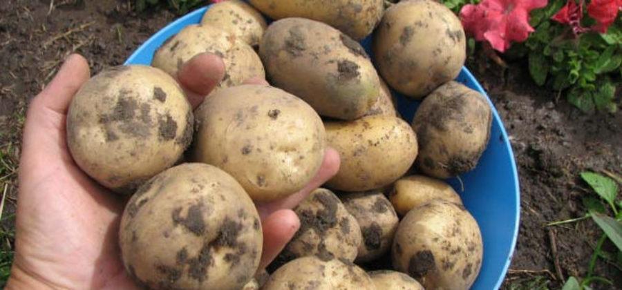 Картофель Елизавета: отзывы, описание сорта