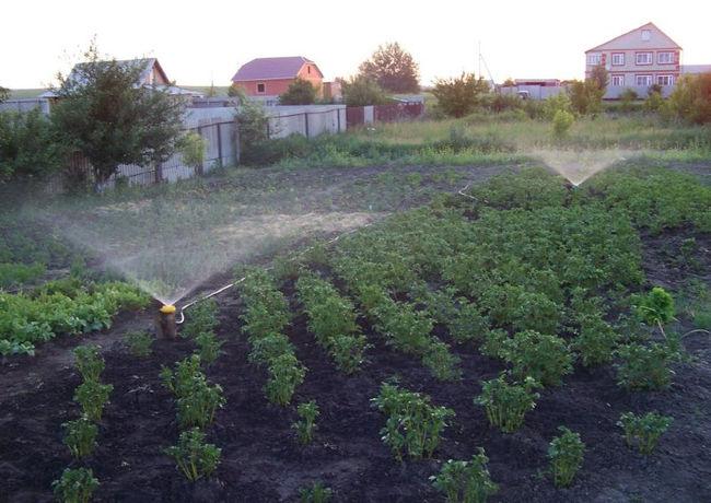Полив картофеля вечером