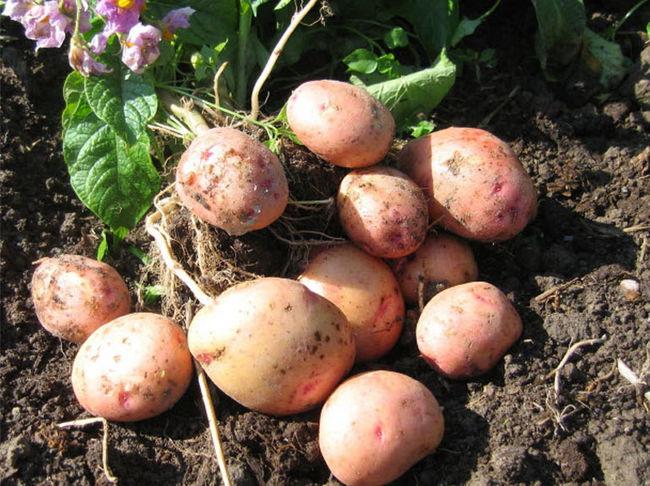 Поздний или ранний сорт картофеля Жуковский
