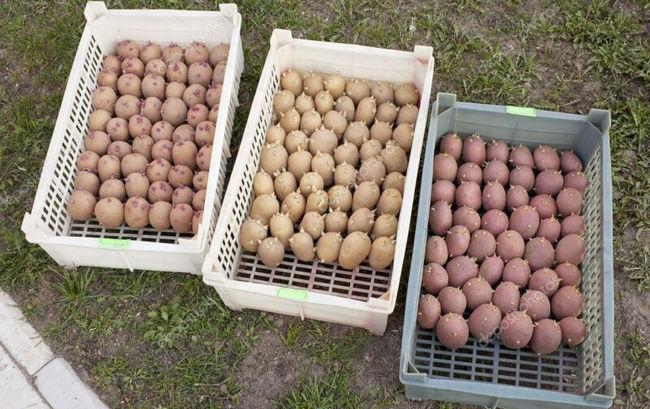 Проращивание картофеля для посадки