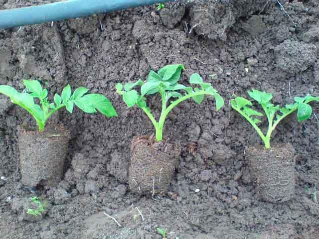 Размножение картофель сорта Колетте черенками