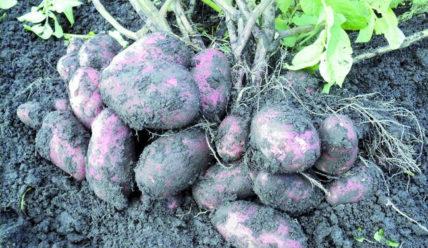 Описание картофеля Уника – Характеристика сорта