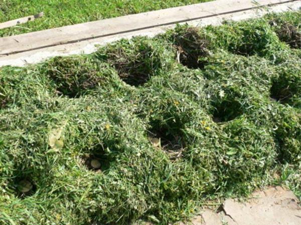 Способ посадки картофеля в скошенную траву