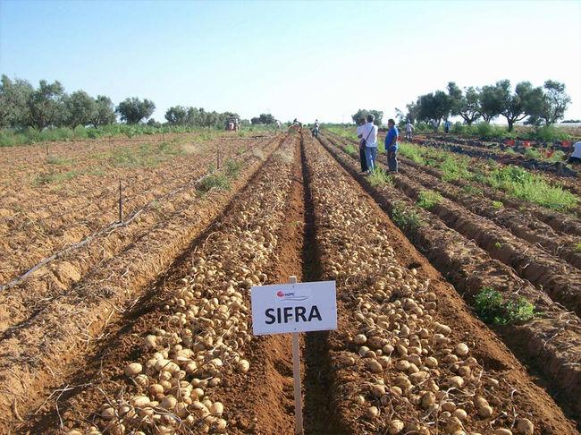 Урожайность картофеля Сифра