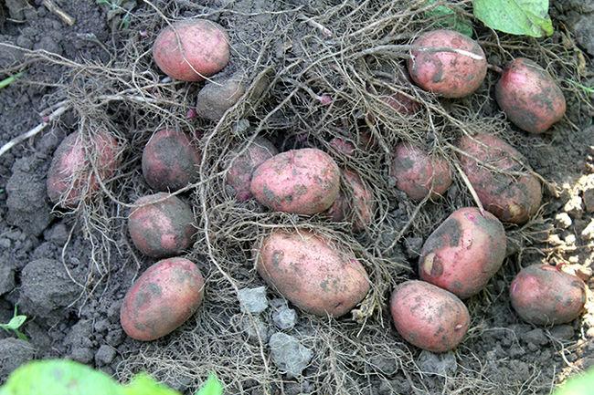 Урожайность сорта картофеля Ажур