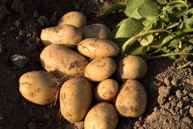 Урожайность сорта картофеля Лабадия