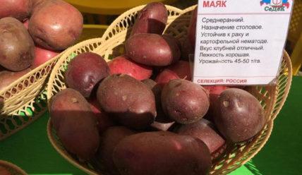 Сорт картофеля Маяк: характеристика сорта, правила выращивания