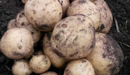 Картофель Удача: описание сорта, отзывы о картошке