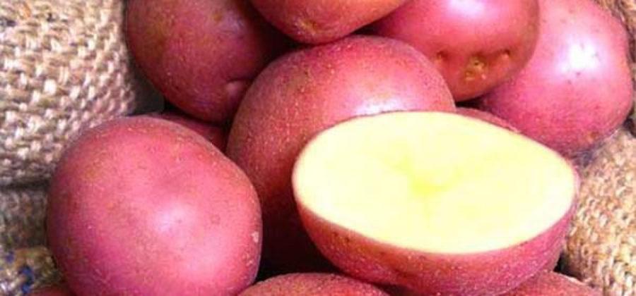 Сорт картофеля Каменский: отзывы дачников и описание сорта