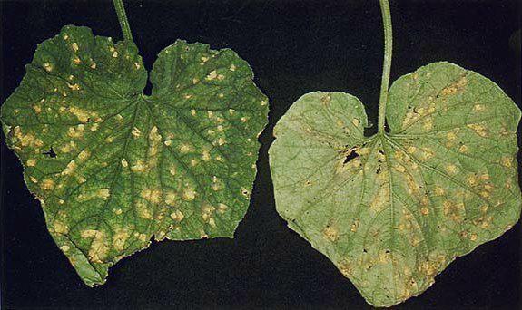 Белые пятна на листьях огурца