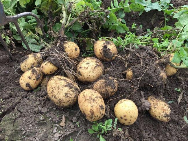 Сорт картофеля Адретта и его достоинства