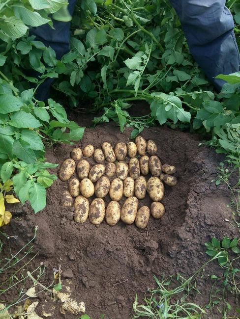 Достоинства картофеля Королева Анна