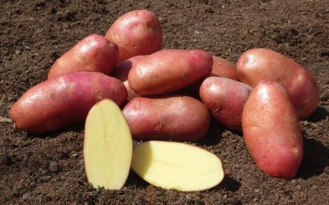 Достоинства картофеля Красная Леди