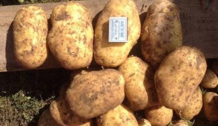 Картофель Коломбо: фото, описание сорта, отзывы тех кто сажал
