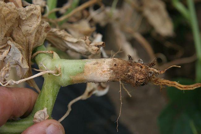 Фото корневой гнили на огурцах