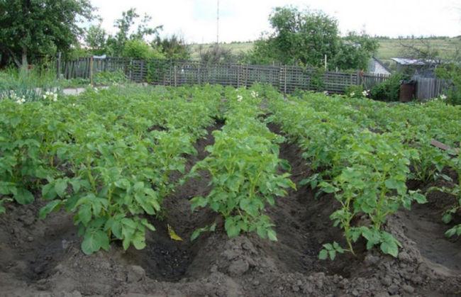 Фото кустов картофеля Адретта