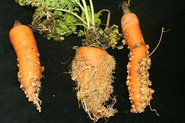 Галловая нематода на моркови