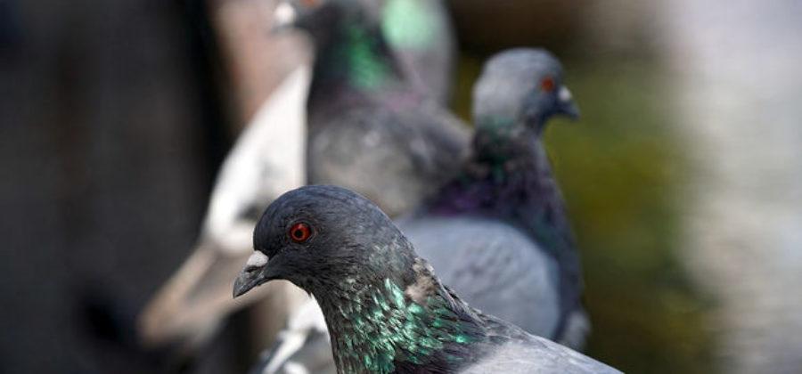 Подкормки пометом голубей – Как применять удобрение