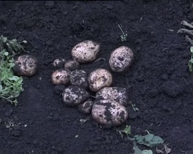 Характеристика клубней картофеля Невский