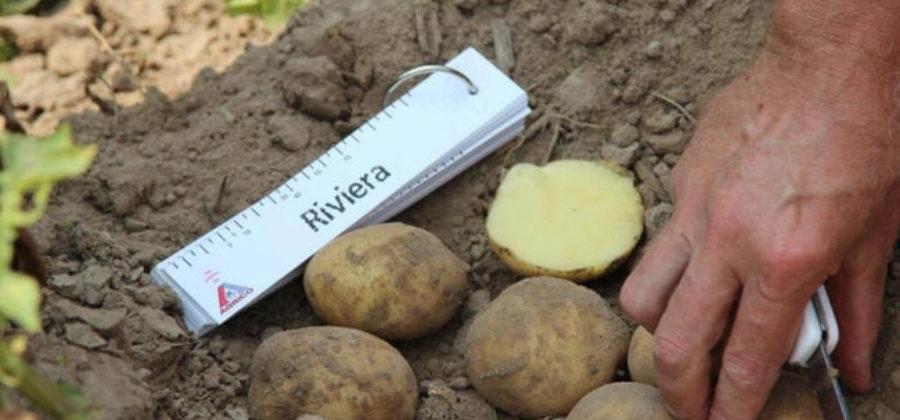 Картофель Ривьера: характеристика сорта и особенности выращивания