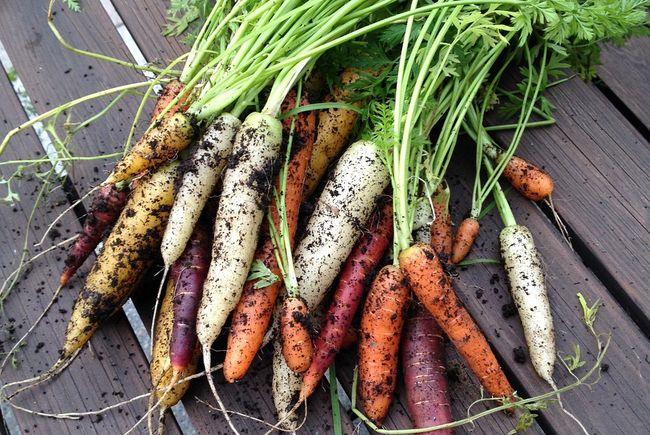 Когда выкапывать морковь в зависимости от сорта