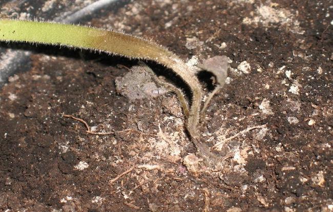 Луковая шелуха против черной ножки