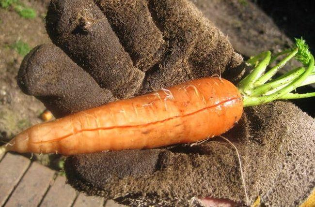 Морковь треснула от ролива