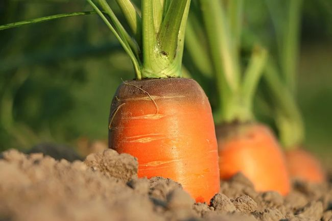 Окучивание моркови
