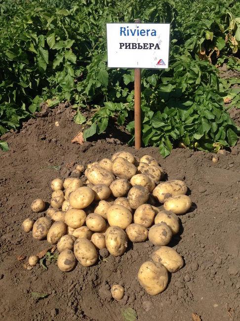 Описание картошки Ривьера