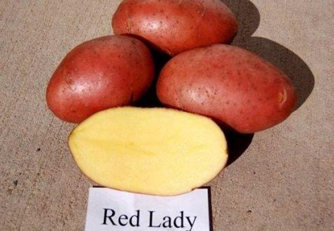 Описание клубней картофеля Ред Леди