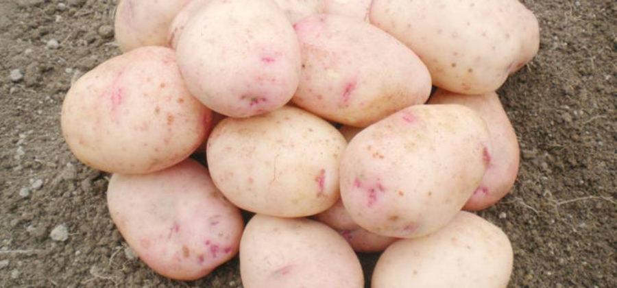 Описание сорта картофеля Аврора, фото, отзывы тех, кто сажал