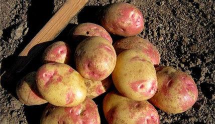 Картофель Пикассо: отзывы, описание сорта, урожайность