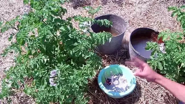 Подкормка картофеля голубиным пометом