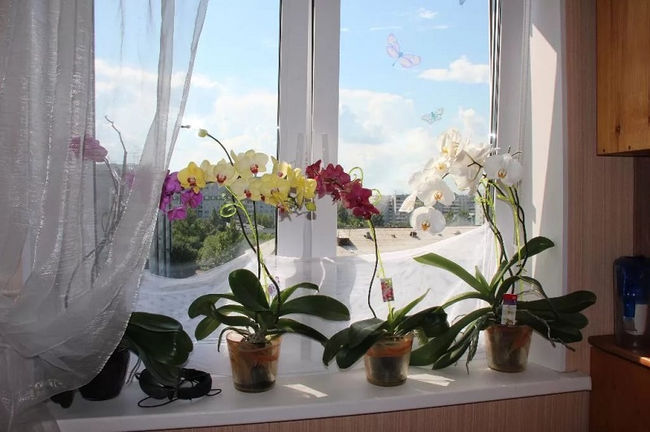 Подкормка луковой шелухой комнатных растений