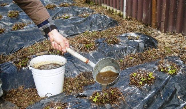 Польза голубиного помета как удобрения
